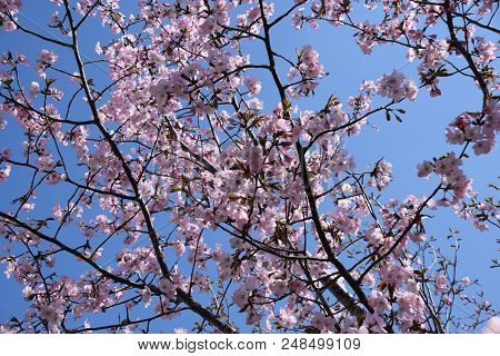 tender scene with pink and fragile blossoming cherry flowers, azure sky and pink cherry blossoms on branches poster