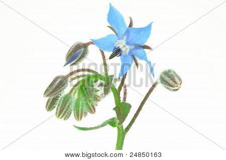 Starflower isolated