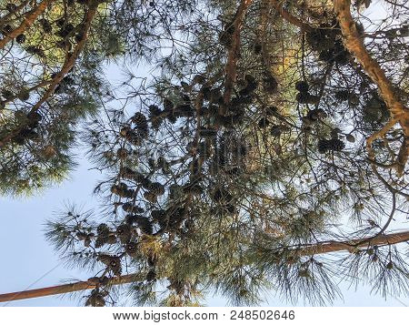 Beautiful Old Conifer With Cones Against The Sky. View From The Bottom To The Top.