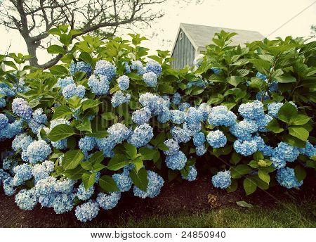 Vintage Hydrangea Flowers