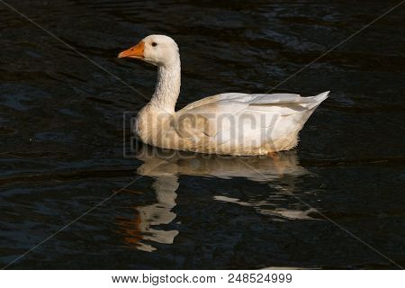 The Emden Goose Is A Breed Of Domestic Goose