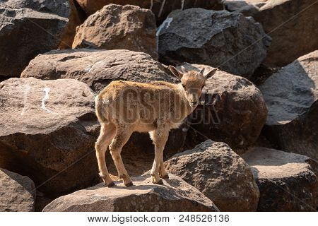 A Barbary Sheep Kid,  Ammotragus Lervia, A Species Of Goat-antelope Native To Rocky Mountains In Nor