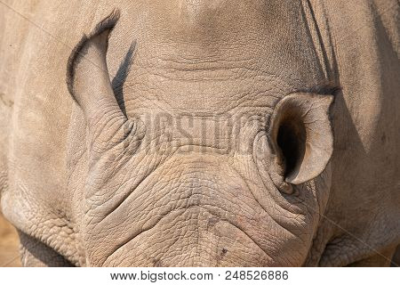 The Ears Of A White Rhinoceros Or Square-lipped Rhinoceros, Ceratotherium Simum