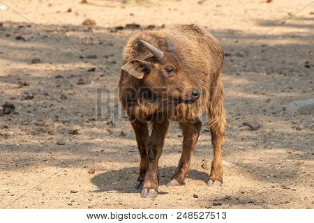 A Cape Buffalo Calf, Syncerus Caffer Caffer, Looking To The Side
