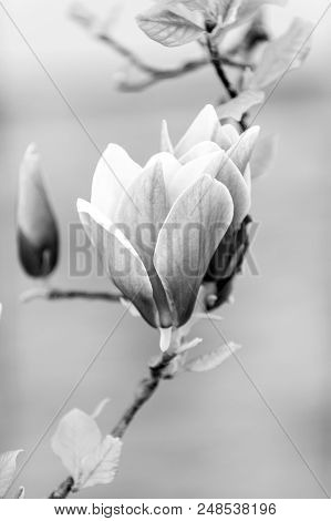 Luck, Health, Life Force Concept. Blossom Of Purple Magnolia On Tree Branch. Magnolia Flowers Blosso