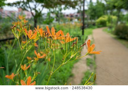 Blackberry Lily Flower In Korea