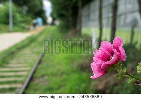 Hibiscus Syriacus In Abandoned Railroad