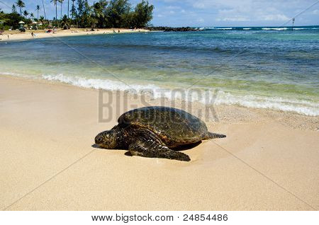 Large turtle on the shore in Hawaii.