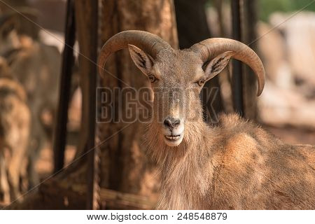 A Male Barbary Sheep,  Ammotragus Lervia, A Species Of Goat-antelope Native To Rocky Mountains In No