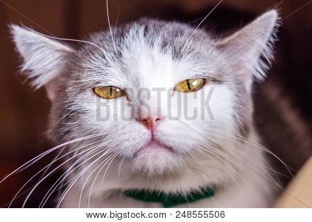 The cat hisses, gapes, grins. Muzzle cat large. Portrait. You can see the fangs, the teeth. Cat large, grey fluffy poster