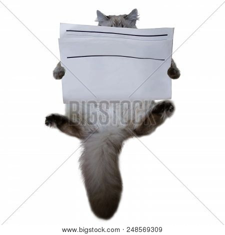 Purebred Reading Siberian Cat With Blank Newspaper Isolated On White Background. News Paper Textured