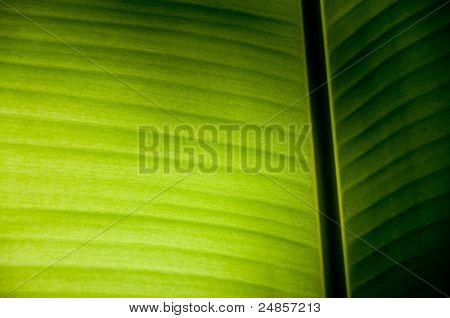 Banana Leaf On Light Effect.