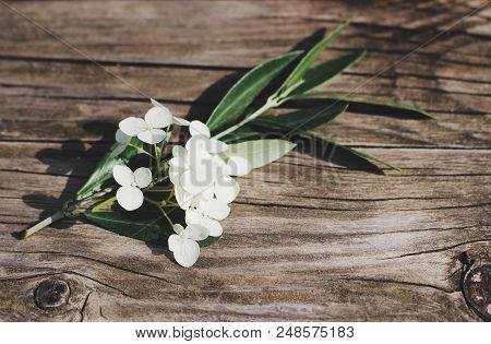 Styled Stock Photo. Feminine Floral Still Life Composition. Closeup Of Green Olive Branch And White