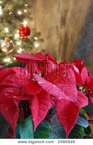 Poinsetta And Christmas Tree