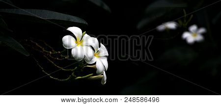 High Contrast Plumeria Flowers On Dark Background