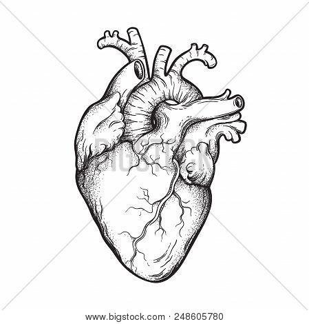 Human Heart Anatomically Correct Hand Drawn Line Art And Dotwork. Flash Tattoo Or Print Design Vecto