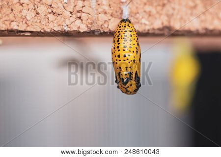 Hanging Cocoons And Larvae In Butterfly Conservatory. Pupation Of Butterfly.