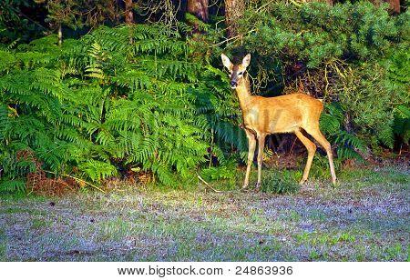 Alert Young Deer