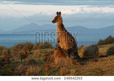 Macropus Giganteus - Eastern Grey Kangaroo In Tasmania In Australia, Maria Island, Tasmania, Standin