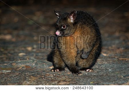 Common Brush-tailed Possum - Trichosurus Vulpecula -nocturnal, Semi-arboreal Marsupial Of Australia,