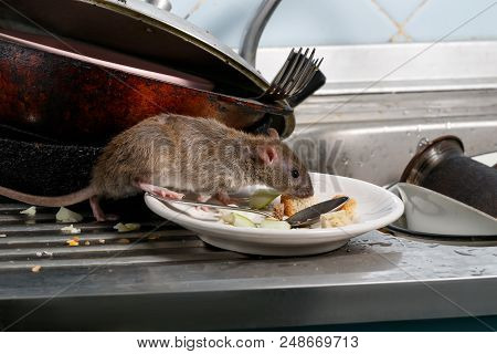 Close-up Young Rats (rattus Norvegicus) Sniffs Leftovers On A Plate On Sink At The Kitchen. Fight Wi