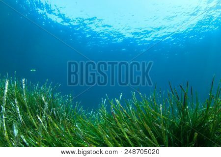 Sea Grass and blue ocean underwater.
