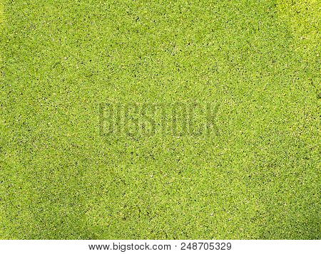 Green Duckweed Or Water Hyacinths Or Pondweed. Tiny Aquatic Flowering Plant Floats In Quantities On