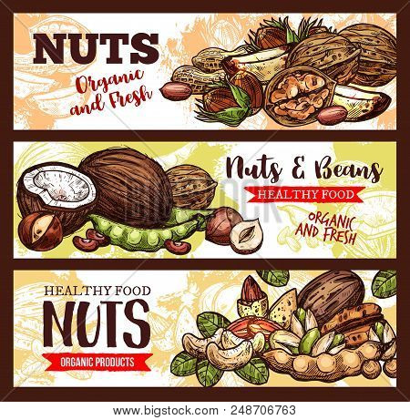 Nuts And Beans Sketch Banners Of Organic Coconut, Peanuts, Pistachios And Walnuts Kernels. Vector Ve