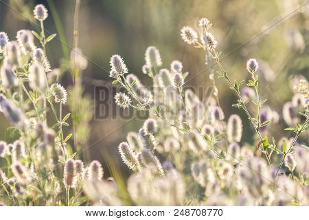 Green Juicy Grass And Gentle Flowers In The Field On A Sunset Backlight, Dolly Shot, Shallow Depth O