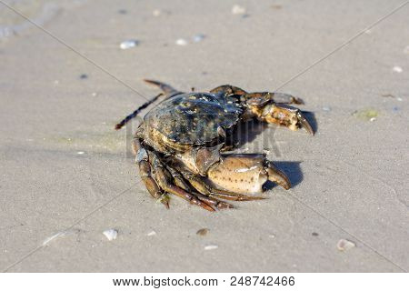 Sea crab on the shore. crab, shore, sand, nature, pincers poster