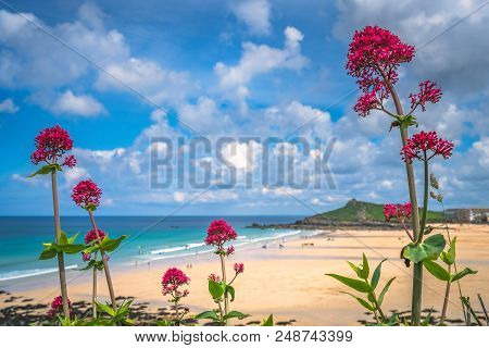 Pink Flowers Growing Above St Ives Premier Golden Porthmeor Beach, Cornwall, England, Uk, Europe