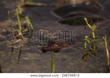 Florida Softshell Turtle Apalone Ferox In A Pond