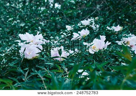 White peonies in the garden on a spring afternoon. Floral background.