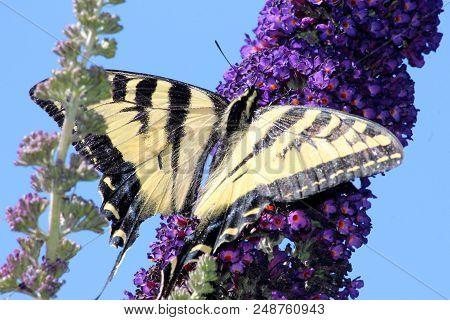Swallowtail Butterfly On Branch Of Butterfly Bush.