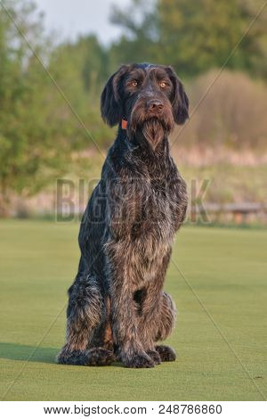 Happy outdoors photo.German longhaired pointer. Looking at the camera. poster
