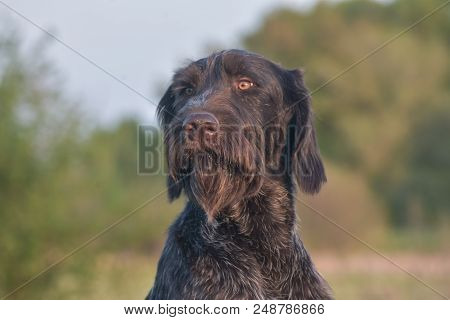 Happy outdoors photo.German longhaired pointer. Looking at the camera. Close up. poster