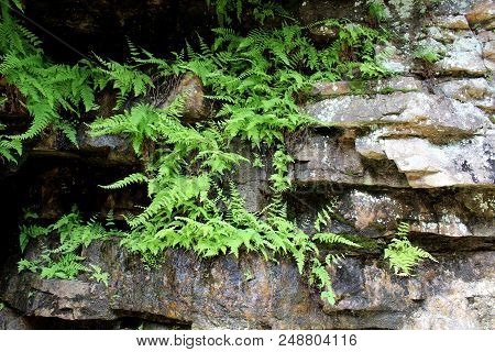 Vibrant Green Ferns Growing Out From The Side Of Rocks In Woodsy Area Near The Water.