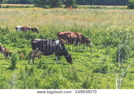 Cows Grazing On Summer Pasture At Sunny Day. Toned Photo. Agricultural Concept. Bretonne Pie Noir An