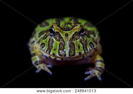 The Argentine horned froglet, Ceratophrys ornata, isolated on black background poster