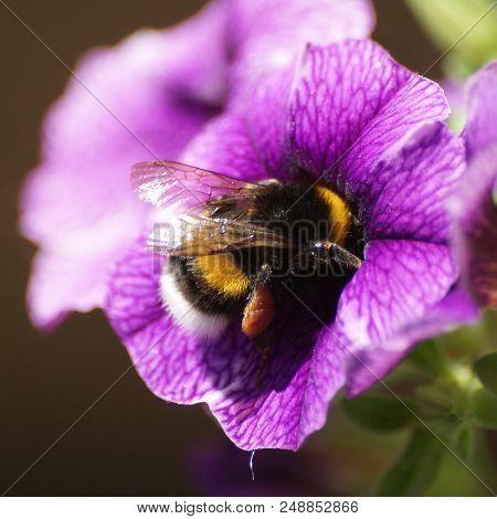 Bumblebee Busy Gathering Nectar Inside A Calibrachoa.