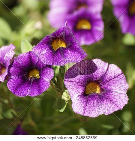 Calibrachoa Colibri Purple Lace In Full Bloom.