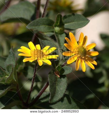 Mexican Creeping Zinnia In Bloom In Summer.