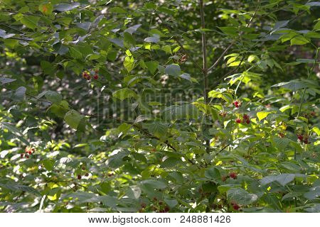 Wild Raspberry Thickly Shrubs, With Berries, Slowly Ripen In Summer Forest Shadow