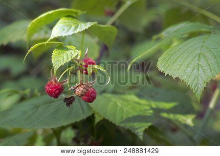 Red Raspberry In Wild Nature. Raceme Of Ripe And Ripening Berries Of The Shrub In Forest; Closeup