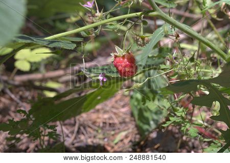 Big Ripening Oblong Berry Of Red Raspberry On Background Of Summer Forest Flowers
