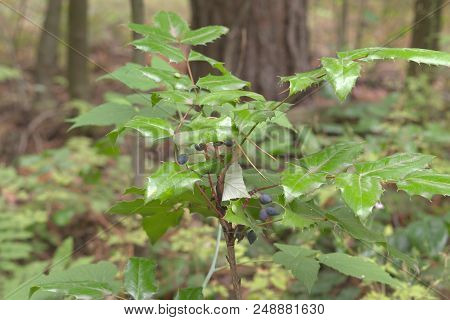 Oregon-grape Ripe Oval Berries On Top Of Low Shrub With Spiny Leaflets