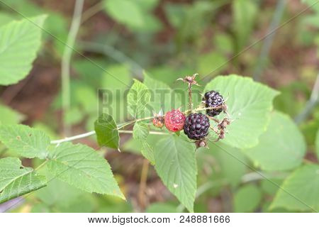 Wild Blackberry Fruits Ripe And Ripening In A Same Inflorescence