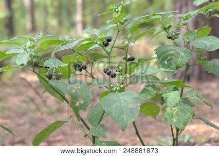Black Nightshade Shrub Berries And Wide Leaves. Purple-black Ball-shaped Fruits, Ripening On Lush Ra