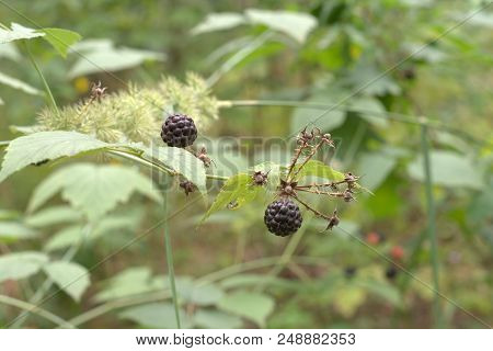 Ripe Round-shaped Black Fruits And Wilted Dry Inflorescence Of Blackberry Shrub On The Background Of