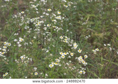 Myriads Of Yellow-white Flowers On High Spreading Stalk. Shallow Depth Of Field